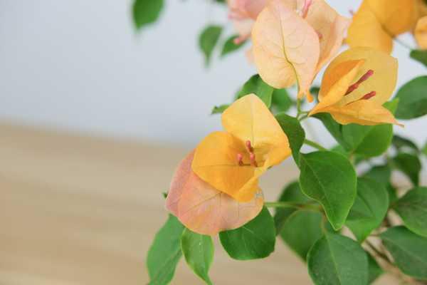 三角梅养殖的环境要求,养在背太阳的地方会开花吗