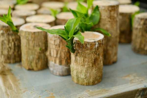 怎么让巴西木开花,开花花期如何护理