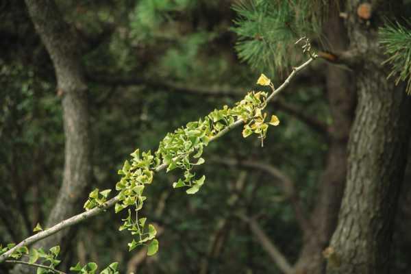 银杏树的特点是什么,怎么种植