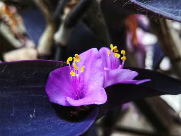 新买的紫竹梅怎么养