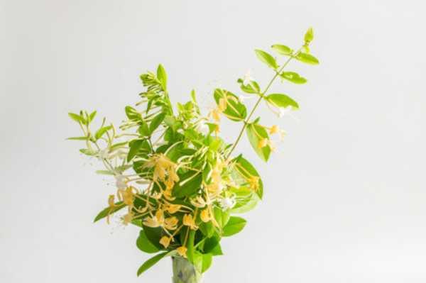 金银花扦插多长时间生根,多长时间可以移栽