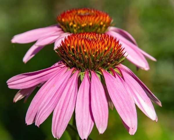 紫松果菊的病虫害防治