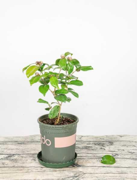 茶花嫁接用什么砧木好,茶花嫁接方法