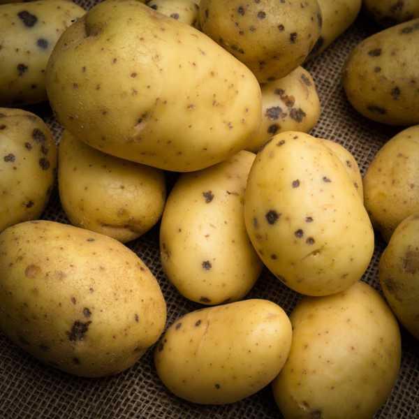马铃薯的繁殖方式扦插图片
