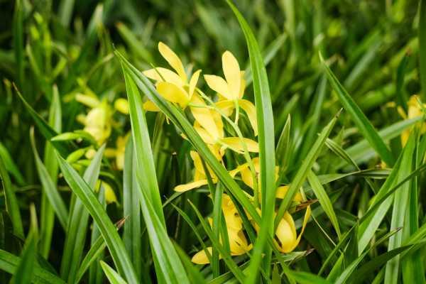 兰花可以用淘米水吗,浇花的兑水比例