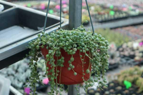 珍珠吊兰叶子发蔫?看好这四点,叶子绿又亮!