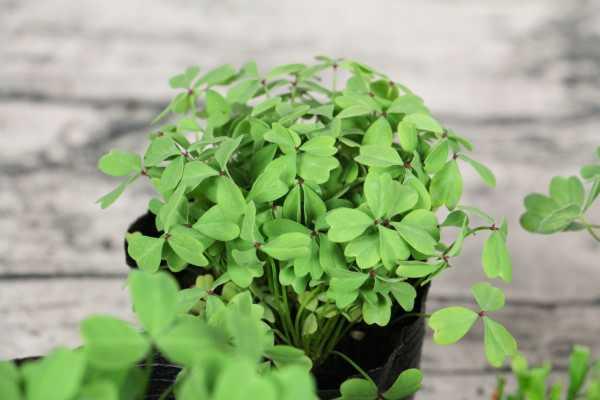 酢浆草的养殖方法和注意事项