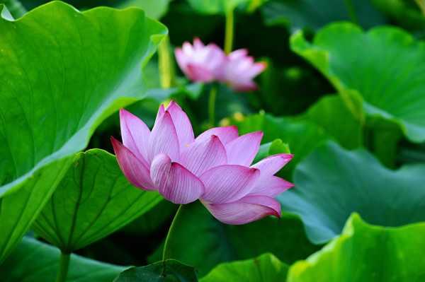 莲花繁殖方式,莲花能自己在家繁殖吗