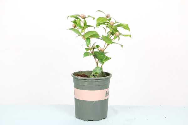 茶花上盆后叶子萎缩怎么办