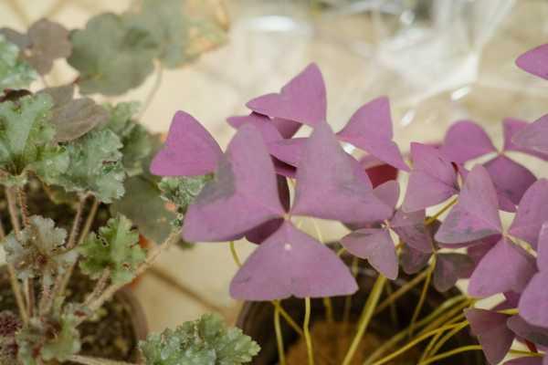 新买的紫叶酢浆草怎么养