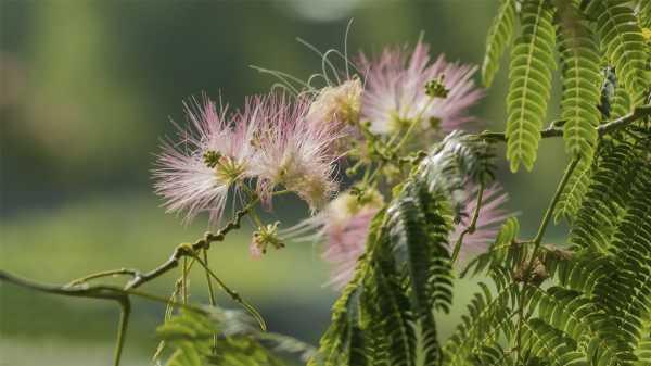合欢花的虫害及防治方法