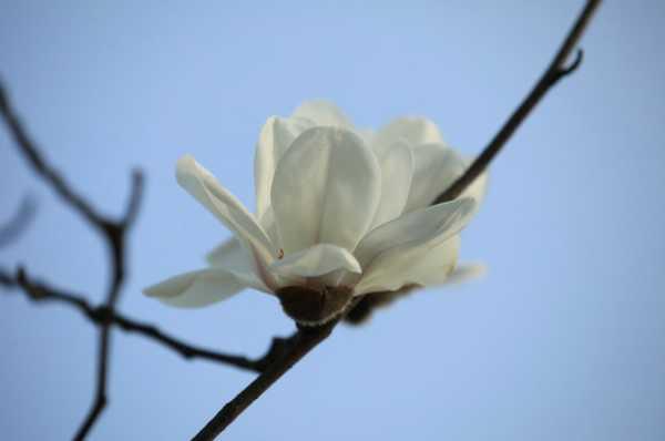 白兰花和黄角兰一样吗?
