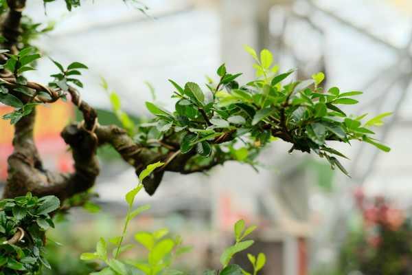 榆树下山桩泡水吗,怎么才能确定成活了