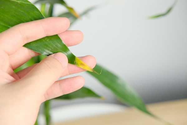 """养""""富贵竹"""",就喂这""""3种""""水,叶子油绿有光泽,黄叶发蔫都"""