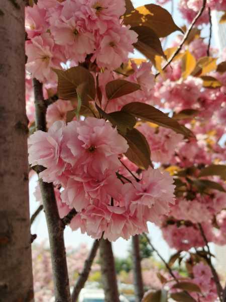 樱花图片(形态特征和养护方法简介)