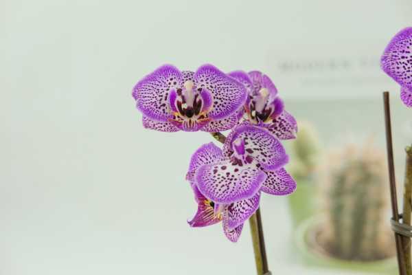 蝴蝶兰的花语和传说