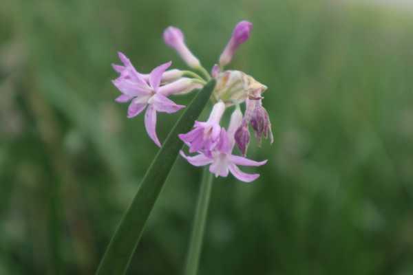 紫娇花常见虫害及防治方法