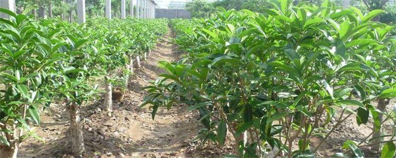 <b>桂花树种植技术和后期养护要点</b>
