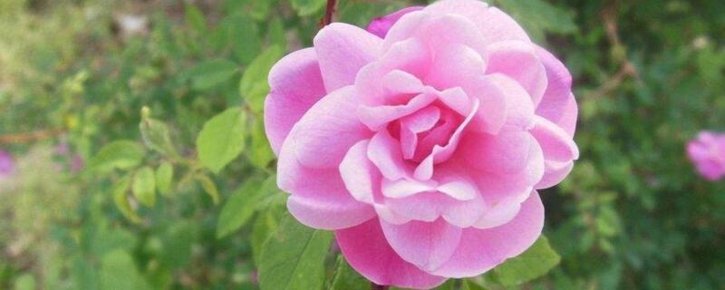 <b>粉玫瑰花语是什么?初恋般的关怀</b>