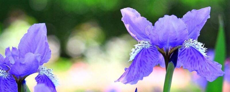 <b>蓝蝴蝶的养殖方法和注意事项</b>