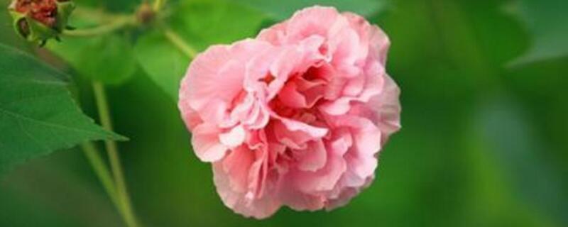 <b>成都的市花是什么花?成都市花是芙蓉花</b>